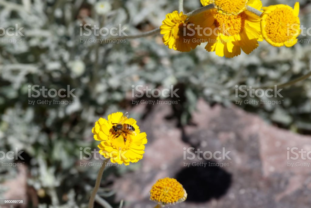 Bee gathering pollen from yellow flower in the desert. stock photo