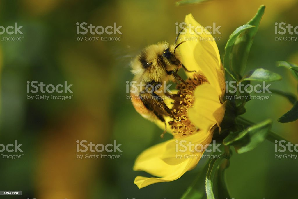 Bee gathers pollen royalty-free stock photo