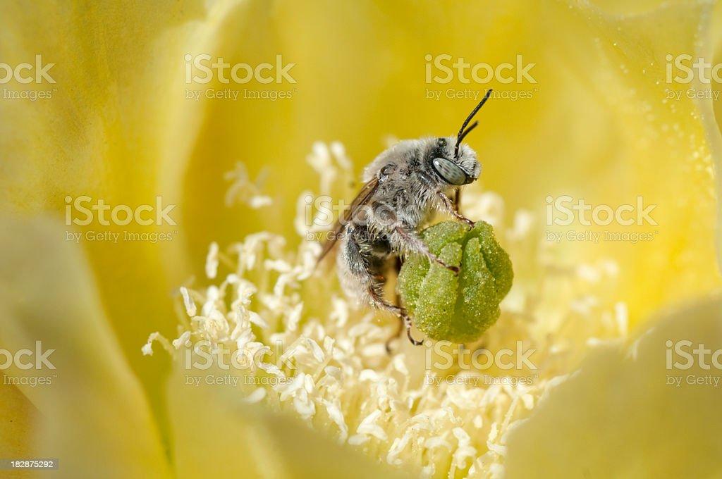 bee  Hesperapis sp. stock photo