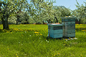 Boxes of bee hives placed in an apple orchard in Northern Rhode Island to pollinate the blooming springtime trees