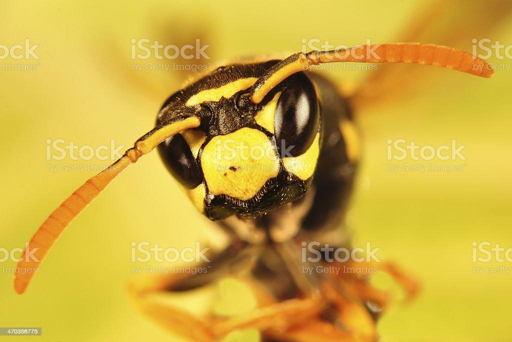 Bee, Hornet portrait stock photo