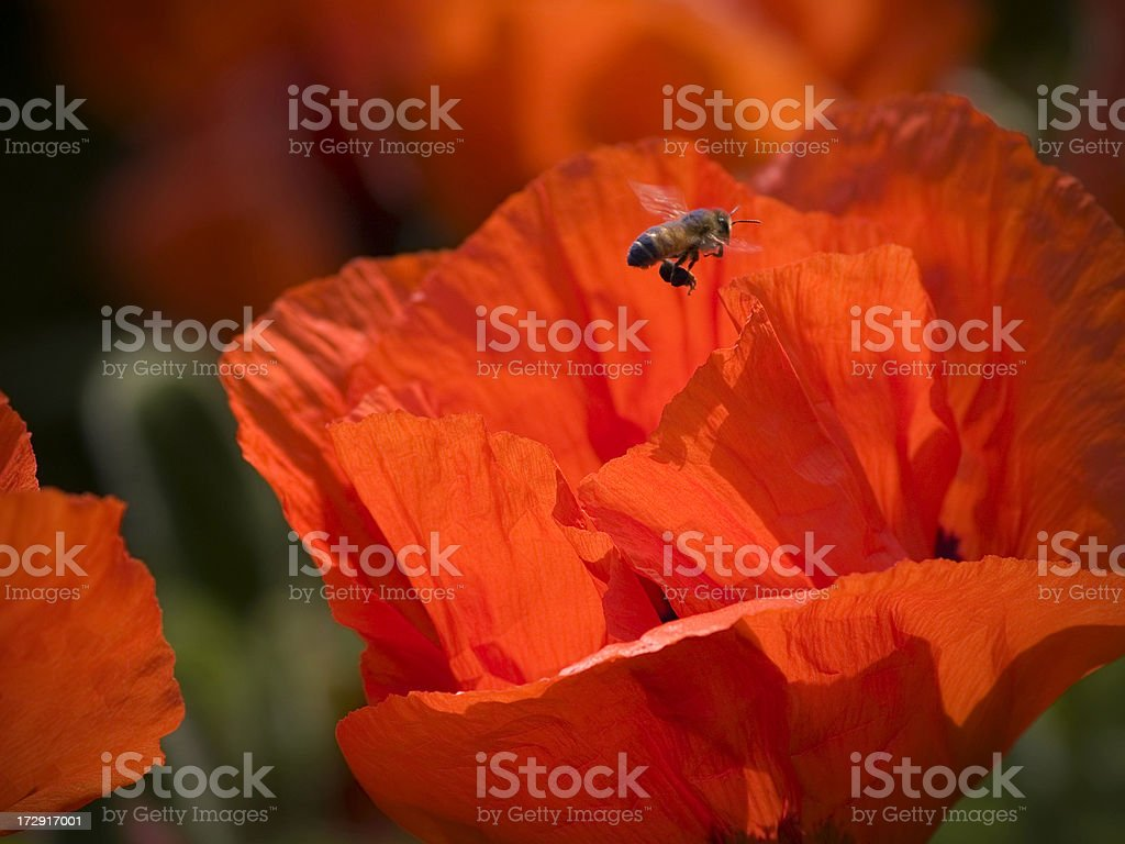 Bee hovering over poppy royalty-free stock photo