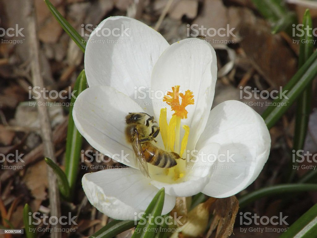 Bee in Crocus royalty-free stock photo
