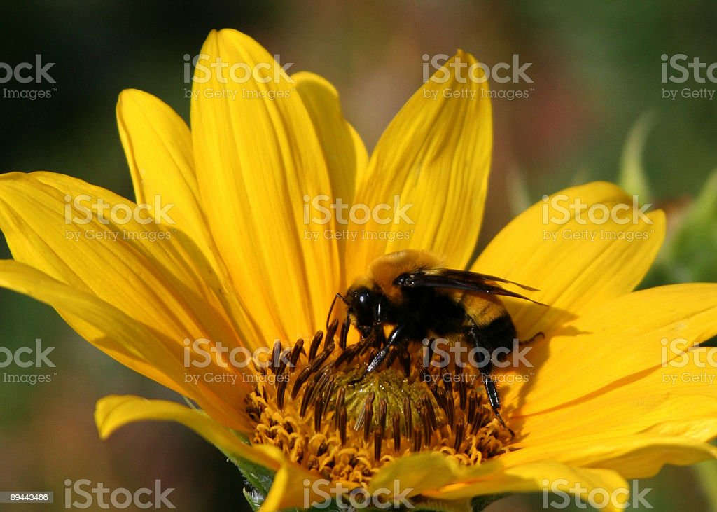 Bee in Daisy royalty-free stock photo