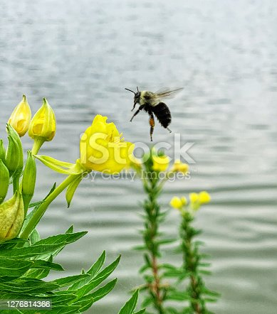 Close up of a bee approaching a common evening primrose flower