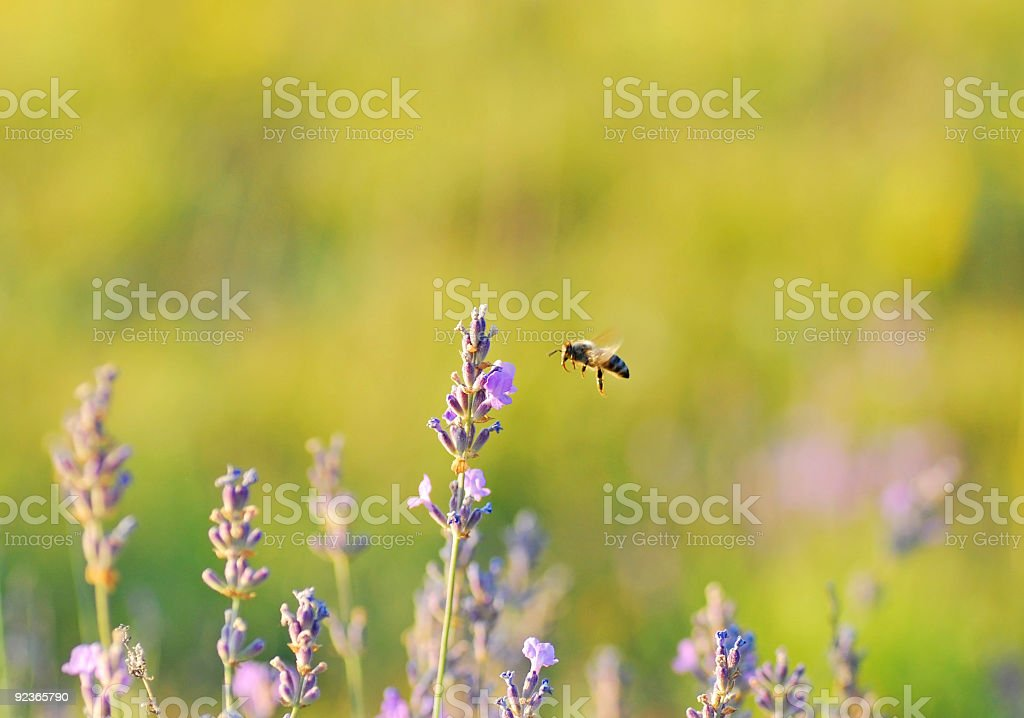 Bee in flight approaching Lavender bloom royalty-free stock photo