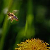 honeybee flying away from a dandelion