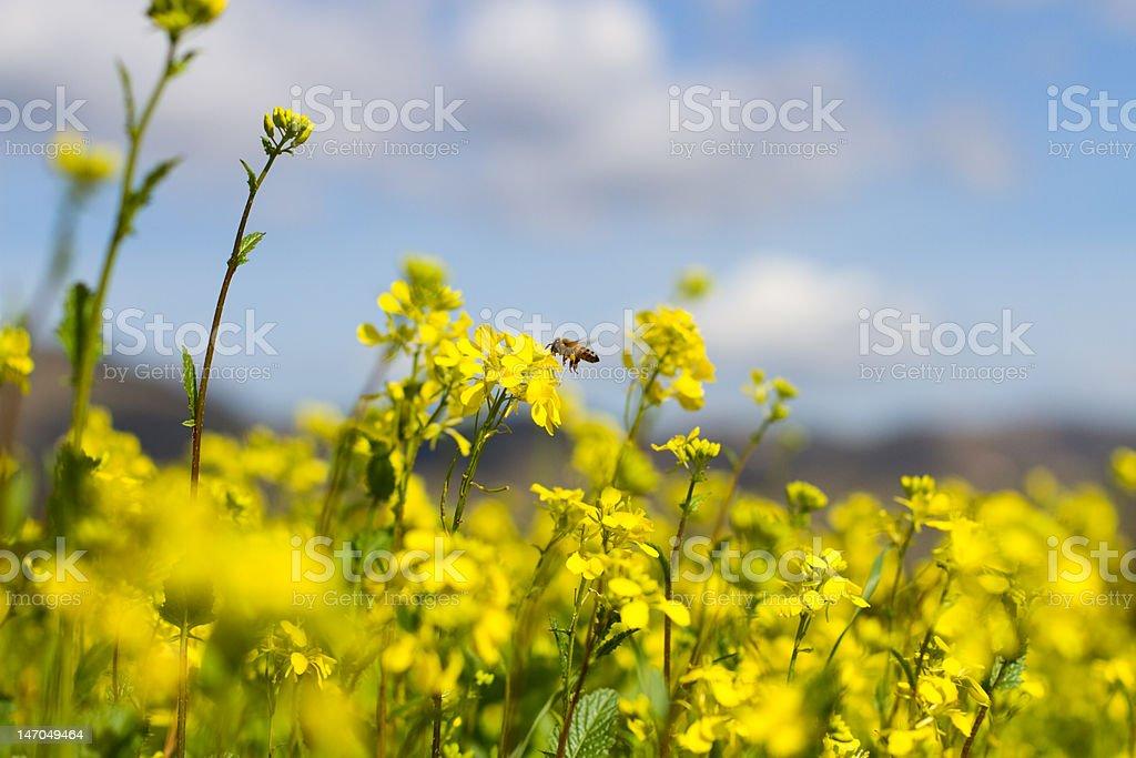 Bee in Flight XXL stock photo