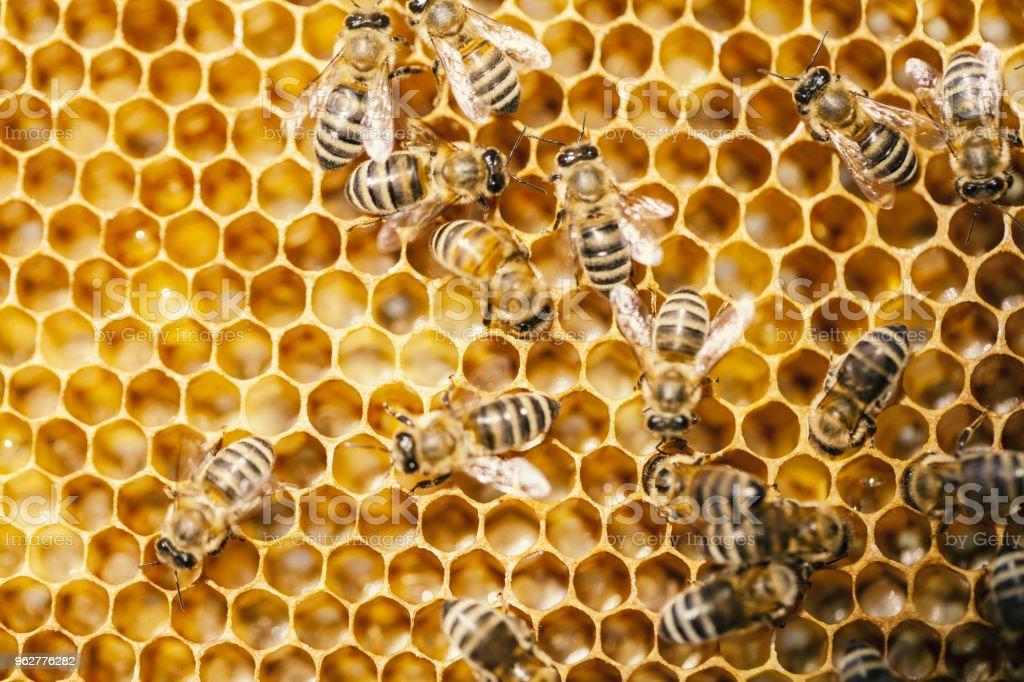 abelha no favo de mel - Foto de stock de Abelha royalty-free