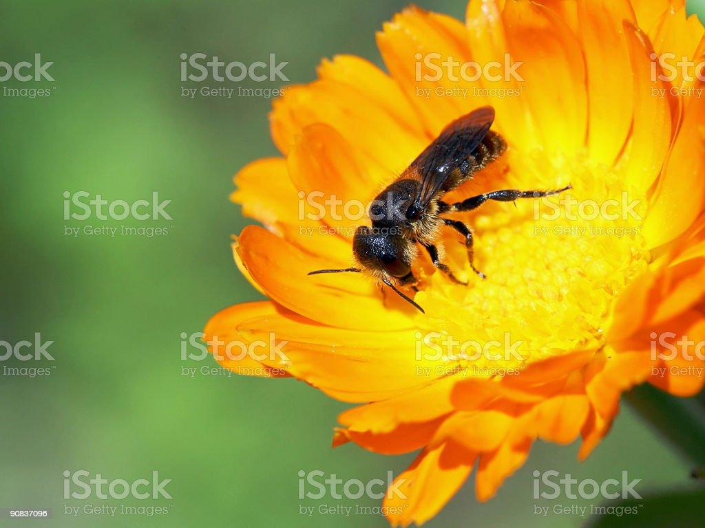 Bee in orange daisy 02 royalty-free stock photo