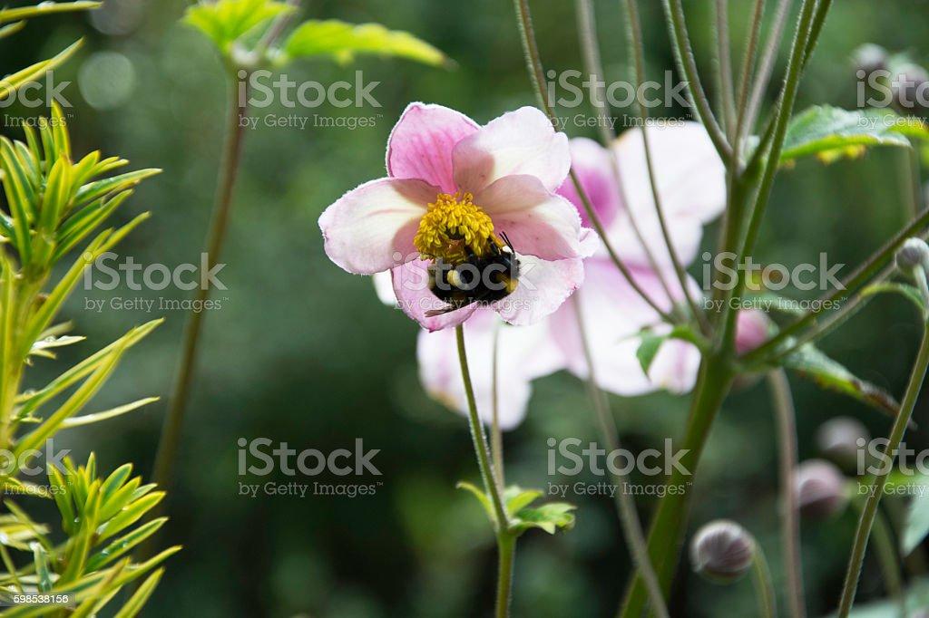 Bee in Pink Flower photo libre de droits
