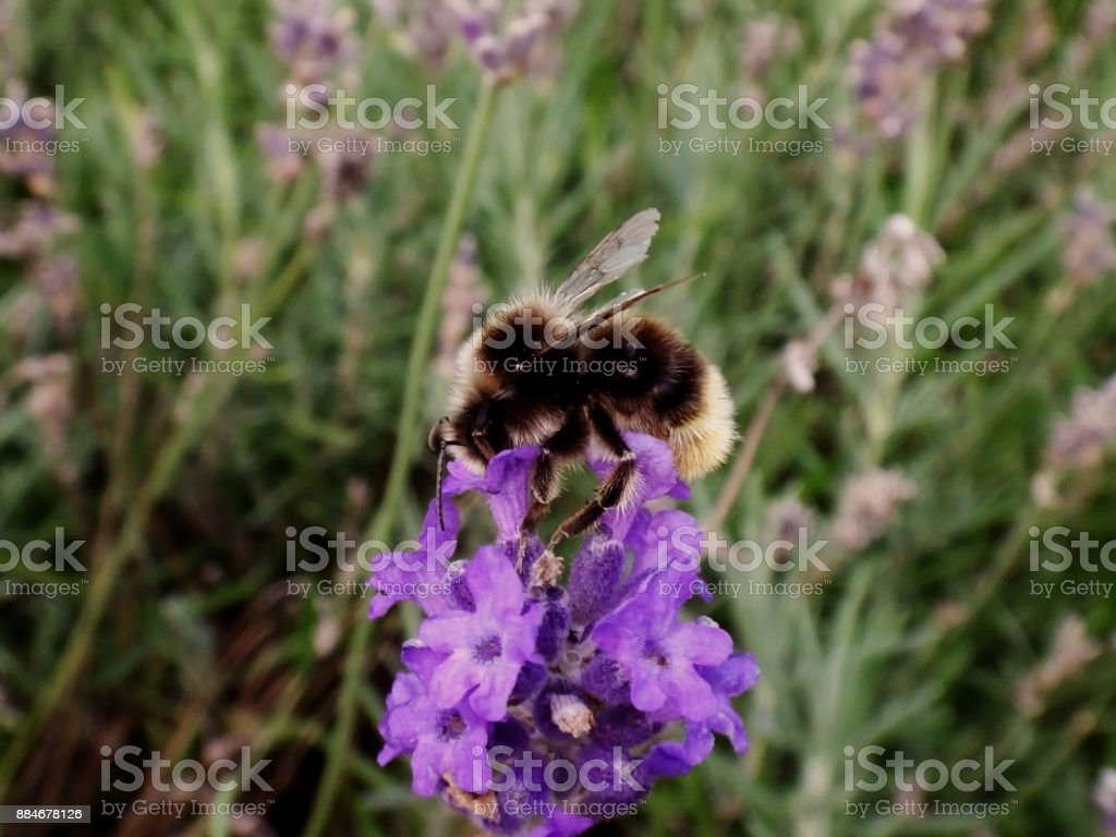 bee in the field stock photo