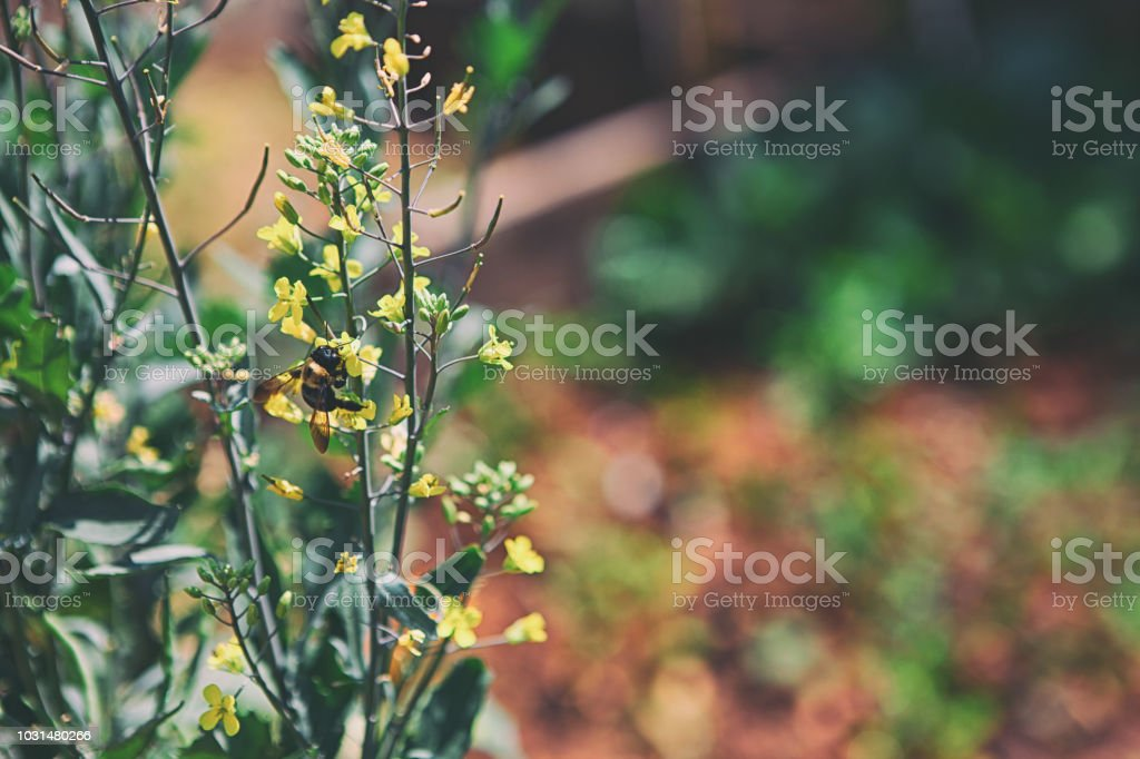 bee in the organic vegetable garden stock photo