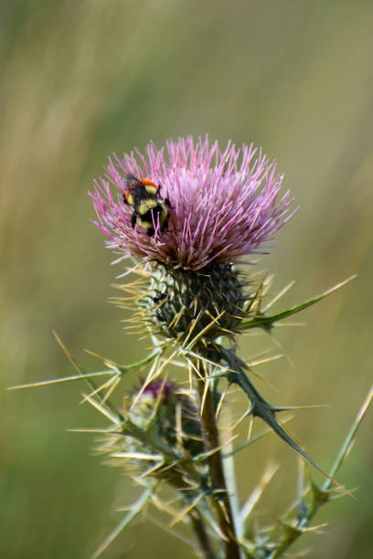 Bee in thistle stock photo