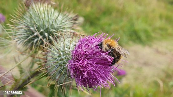 Close up of bee on thistle