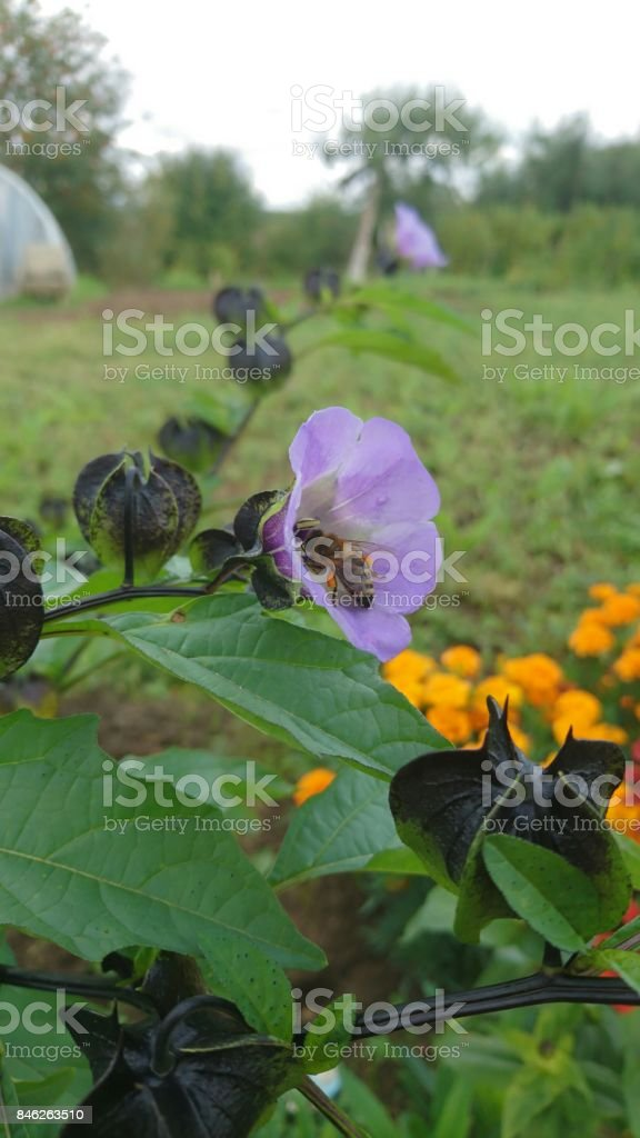 Bee in violet ring stock photo