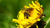 Close up macro of a bee on a yellow dandelion flower. Selective focus. Shallow depth of field. Shallow DOF.