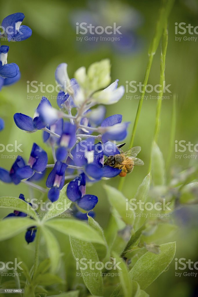 Bee in Your Bonnet royalty-free stock photo