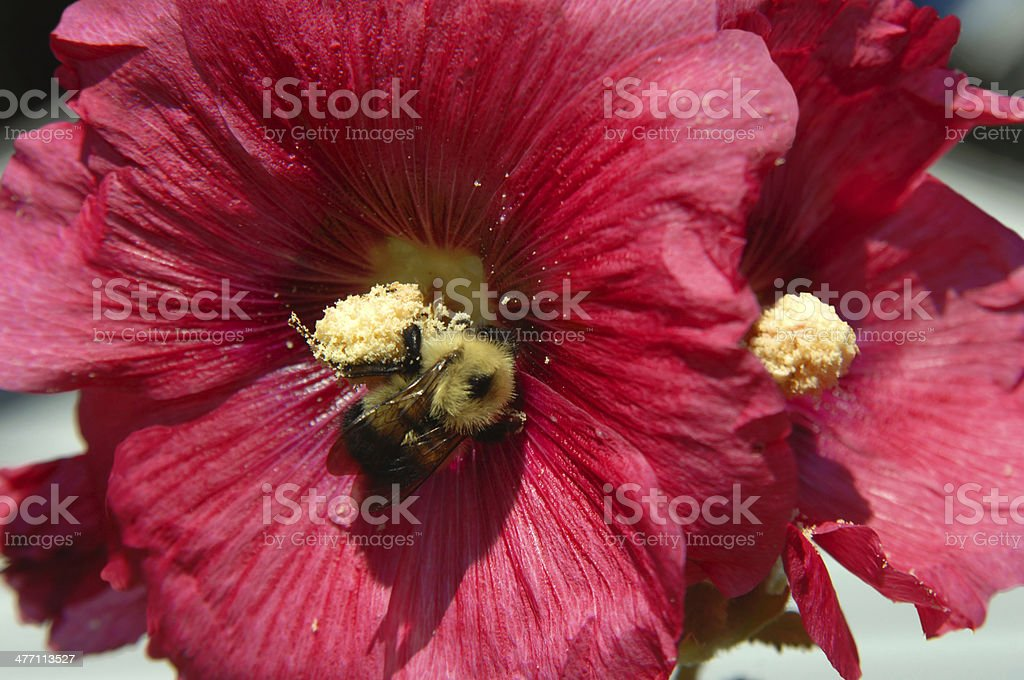 Bee inside Hibiscus royalty-free stock photo