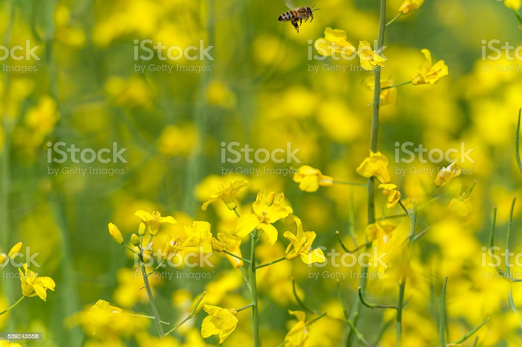 Bee is Flying over the Rapeseed Field. Blurry Background. royalty-free stock photo