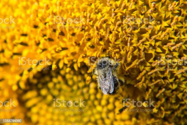 Photo of Bee is pollinating the sunflower and collects the nectar.