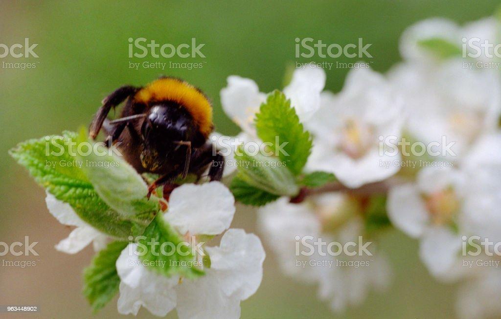 Arı bir kiraz ağacı çiçek üzerinde oturuyor. Filmde vurdu - Royalty-free Arılar Stok görsel