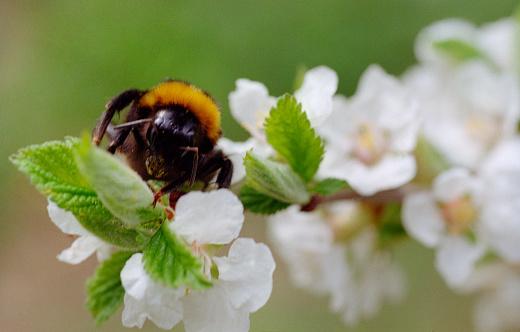 Arı Bir Kiraz Ağacı Çiçek Üzerinde Oturuyor Filmde Vurdu Stok Fotoğraflar & Arılar'nin Daha Fazla Resimleri