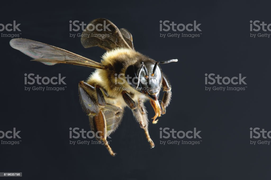 bee isolated on black background stock photo