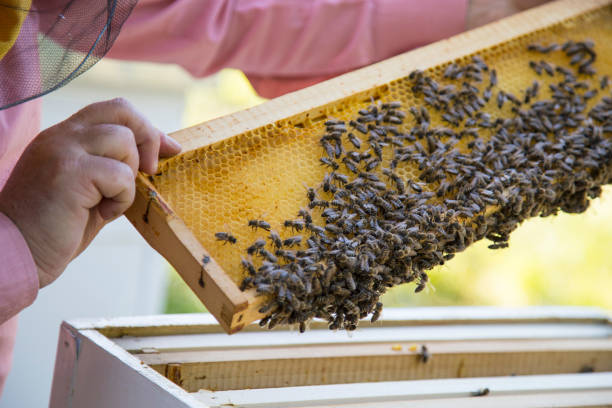 Bee keeper lifting shelf out of hive stock photo