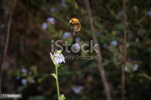 Hairy bee in flight lands on a flower to feed
