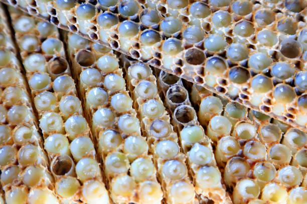 Bienenlarven im Nest, Nahaufnahme des Fotos – Foto