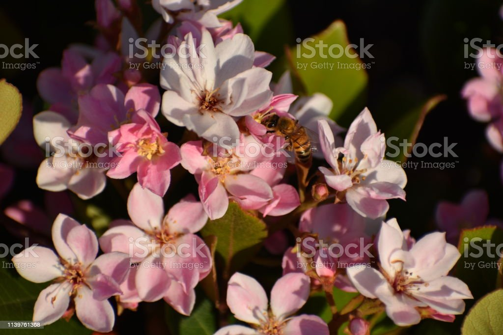 Bee Looking Left on Pink Flowers with Leaves in Late Afternoon Light stock photo