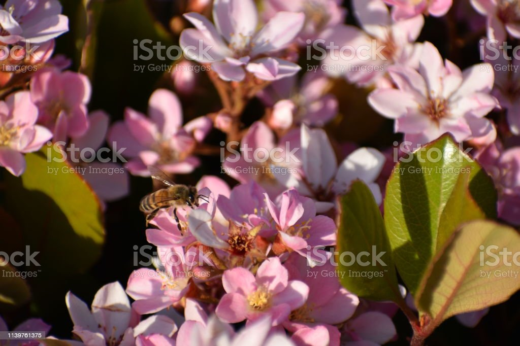 Bee Looking Right on Pink Flowers with Leaves in Late Afternoon Light stock photo