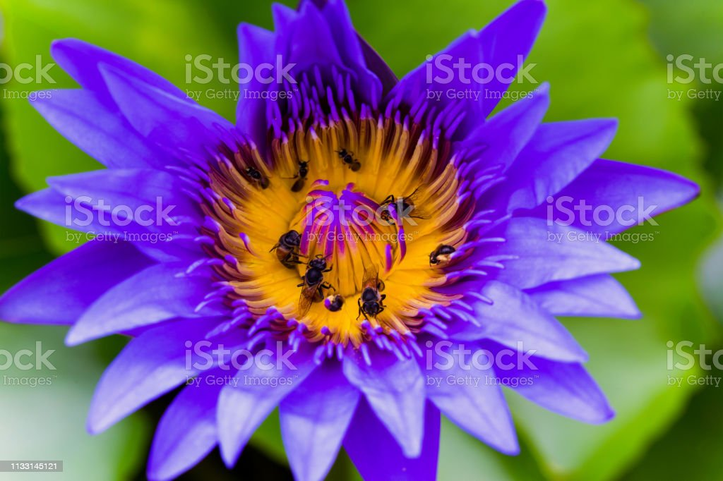 Beautiful Flower, The Bright and Beautiful of A Pink Water Lily or...