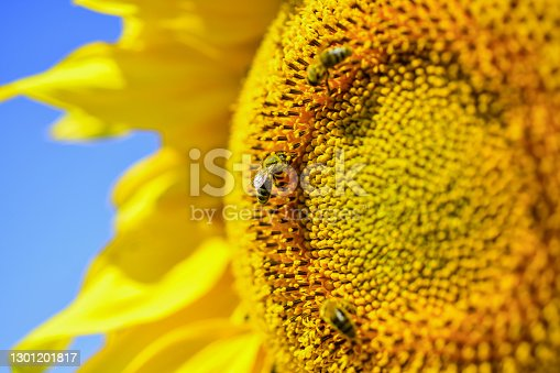 bee making honey closeup. beautiful yellow flower of sunflower. big sunflower close up. summer nature beauty. eco living.