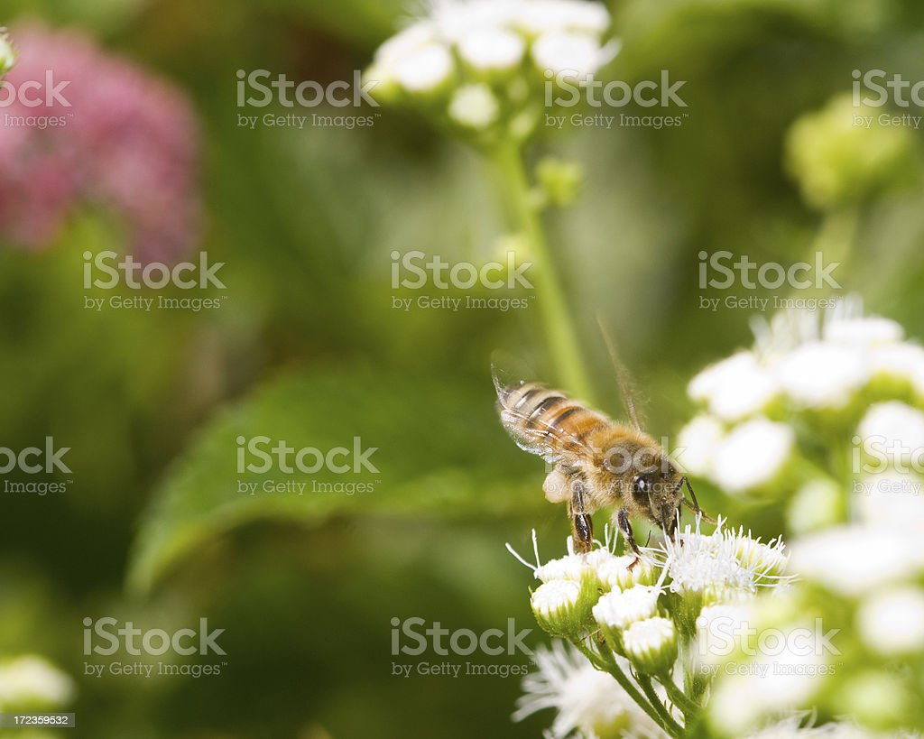 Bee Making the Rounds royalty-free stock photo