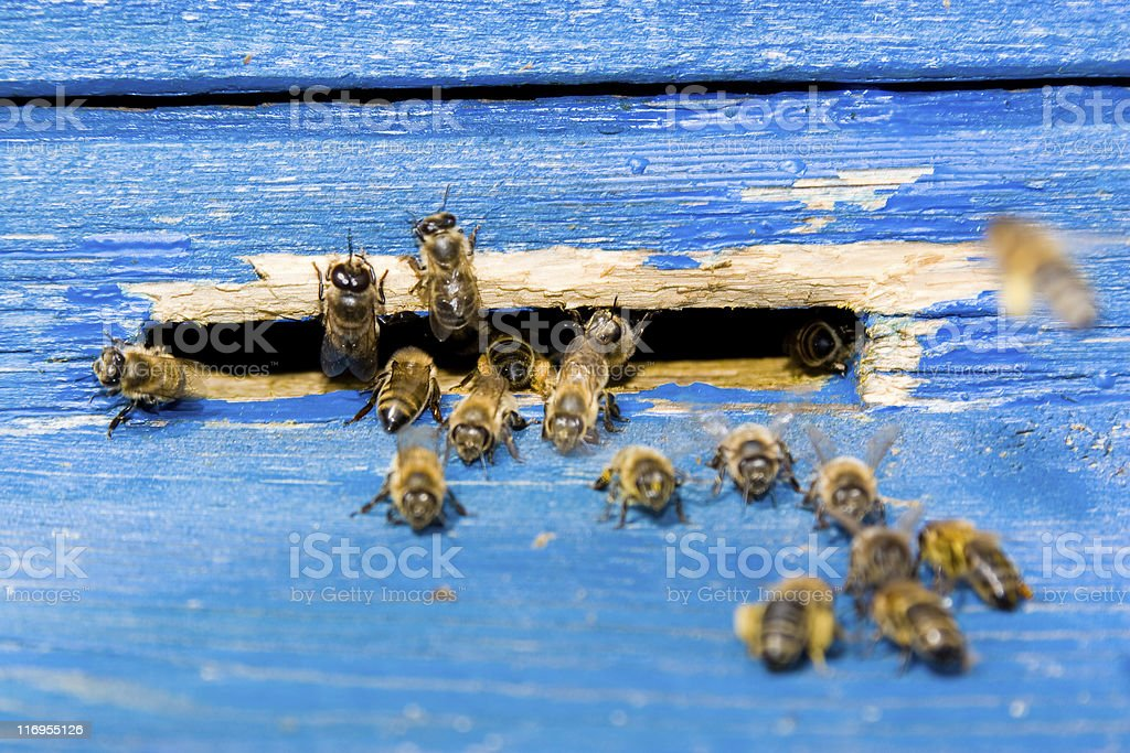 bee next to beehive on the apiary stock photo