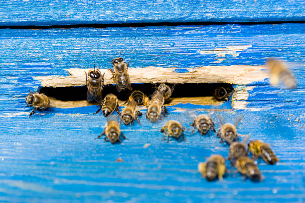 bee next to beehive on the apiary - swarm of insects stock photos and pictures