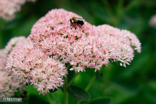 Bee on a Autumn Joy Sedum
