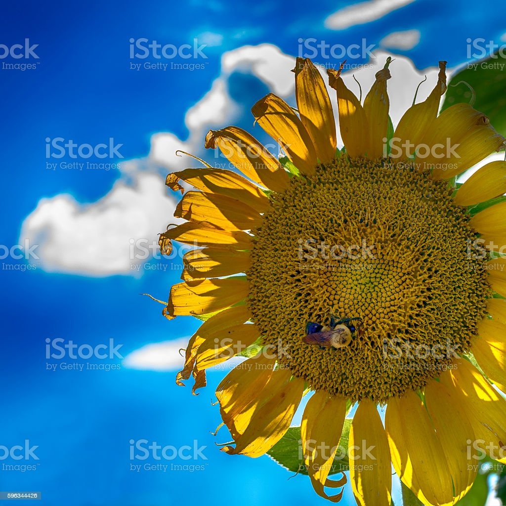 Bee on a backlit sunflower royalty-free stock photo