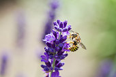 bee on a blooming lavender