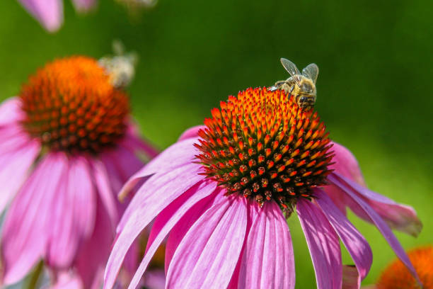 A bee on a blossom of coneflowers (echinacea) in pink, yellow and orange