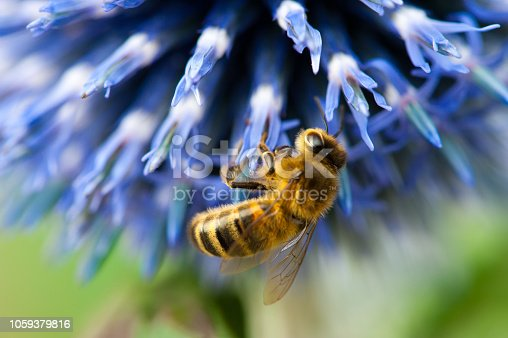 Bee on a blue flower close up macrophotography