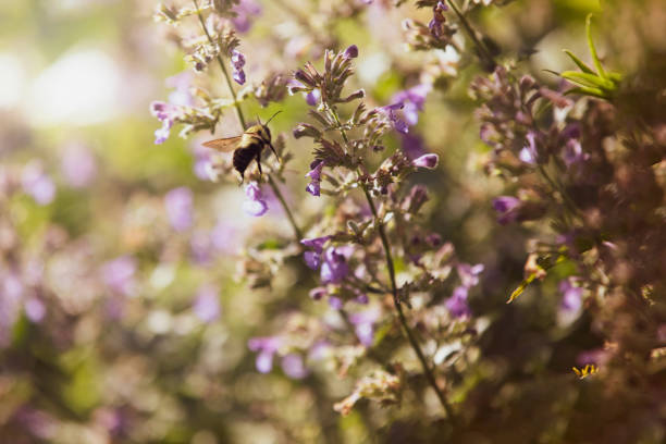 Bee on a Catmint Flower stock photo
