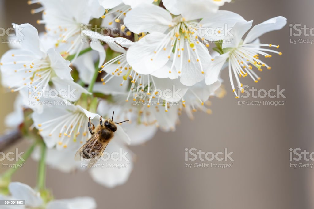 Bee on a cherry blossoms. Spring floral background. Cherry flowers blossoming in the springtime. - Royalty-free Animal Stock Photo