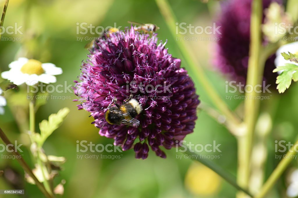 Bee on a chives flower stock photo