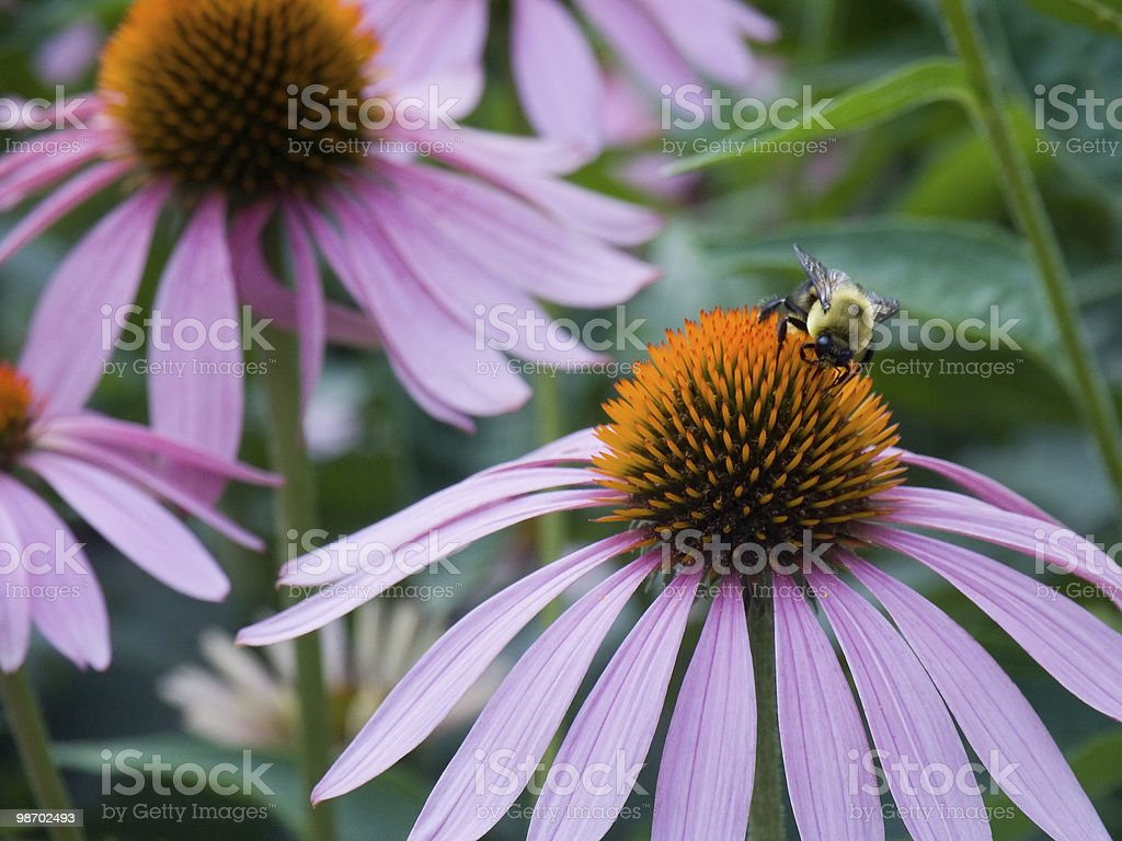 Bee on a Cone Flower royalty-free stock photo