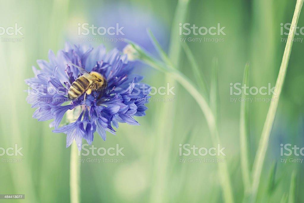 Bee on a Cornflower royalty-free stock photo