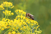 honey bee on a yellow fennel blossom, green background