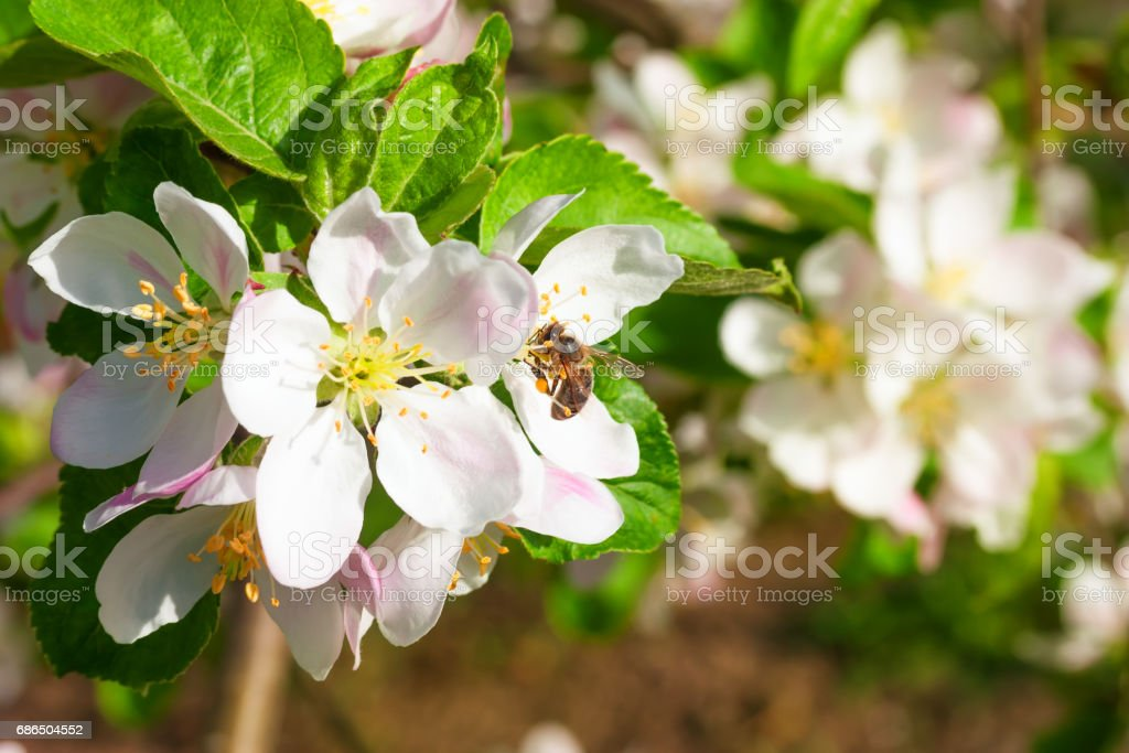 bee on a flower apple trees foto stock royalty-free